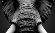 雕刻逼真的非洲象3D模型流程解析